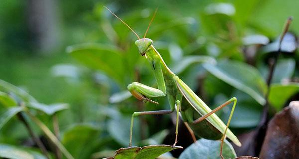Praying Mantis Good Luck Charm